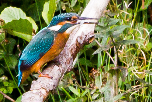 Kingfisher with fish by TN4Productions.co.uk